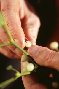 Squeezing mistletoe berries to extract the seed