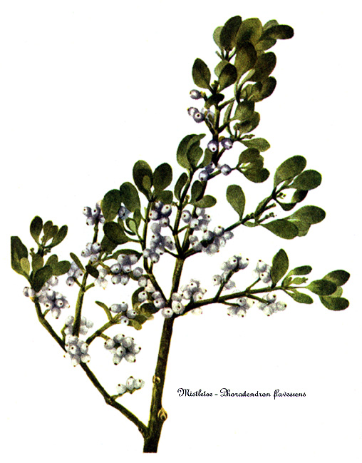 Biology The Mistletoe Pages